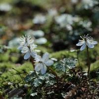 バイカオウレンの花