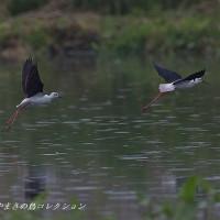 今日の鳥コレクション・・・セイタカシギ