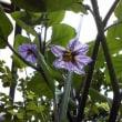 茄子の花咲く ~ 親の小言と茄子の花は……