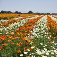 日本一広いポピー畑♪