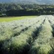 朝陽に輝くアスパラ畑