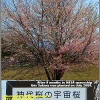 image2358 宇宙桜1