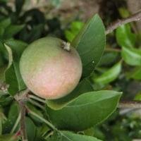 リンゴの小さな果実がつきました。村下孝蔵さんが亡くなって18年。