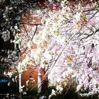 春は多摩川