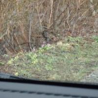 雨の大佐渡スカイラインの植物:車な中からいつまでも見ることが出来るカタクリの花でした。