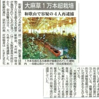 紀伊國・かつらぎの果物畑の中で大麻草栽培工場=1万本
