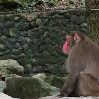 高崎山の猿