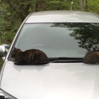 猫は車の上が好き?