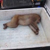 2月16日有害鳥獣捕獲「猿」