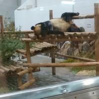 初パンダでした!1