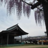 熊野(ゆや)の長藤(行徳寺)