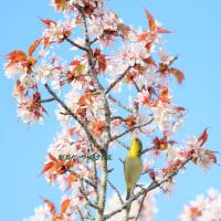 満 開 の 桜 の、テッペン‥‥ に ♪