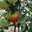花豆  トマト  野菜の収穫  玉ネギ