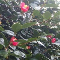 椿の花が綺麗に咲いている。