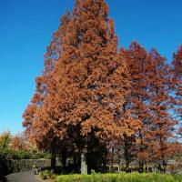メタセコイアの紅葉