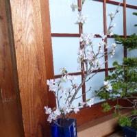 早春を告げる花として、正月から好んで生けられるケイオウザクラ(啓翁桜)が手に入った