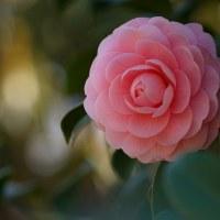 椿 (花 4305)