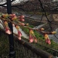 桜 開花宣言されど