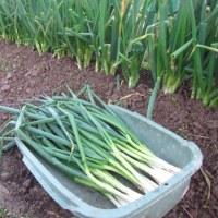 九条ネギ 抜き取り収穫