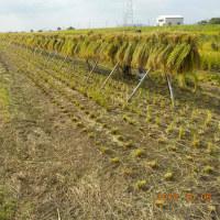 台風一過稲刈り開始