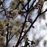 白と赤の梅