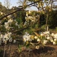 梨🍐の花です。