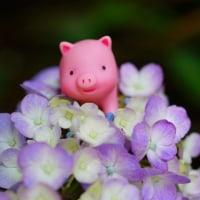 今日の一枚【today's shot】アジサイと子ブタちゃん (hydrangea and piggy)
