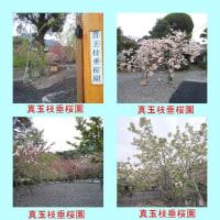 真玉枝垂桜園
