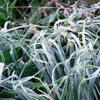 枇杷の花咲きどうやら冬が