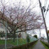 その後の冬桜