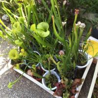 食虫植物の育て方‼︎