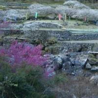 川売梅林~木下庭園の梅の花満開
