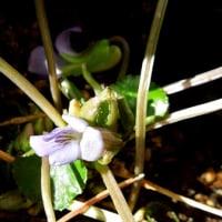 スミレの花がベランダにて