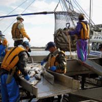 秋サケ2,190万尾、前年比3割減、記録的な不漁に