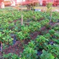 ウチの畑でサツマイモ定植