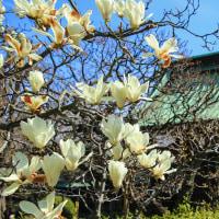 木蓮の花咲く 長谷寺