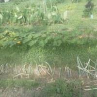 5回目の草刈り、1回当たり1㍑のガソリン消費