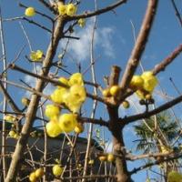 蝋梅の花が咲いていた