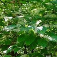 初夏の山野草ーヤマアジサイ、コアジサイ、ジャコウソウ、ズイナ