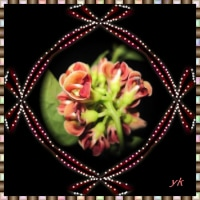 アピオスの花が咲き始めました