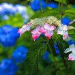 紫陽花の共演