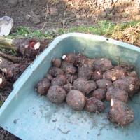 サトイモ「石川早生」の収穫(親芋をタネイモにしたら)