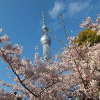 隅田川の桜 満開