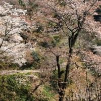 吉野山 可憐な山桜が一目千本