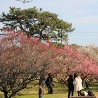 今治 天満神社の梅花