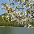 この春の桜の画像