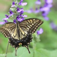 ナミアゲハ(蝶)