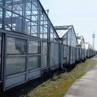 トマトの温室栽培