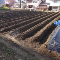 先に植えたジャガイモ畑の様子です