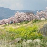 続・足柄の春めき桜